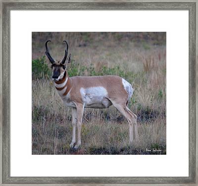 Antelope Framed Print by Bonae VonHeeder