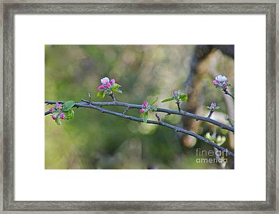 Apple Blossoms Framed Print by Sean Griffin