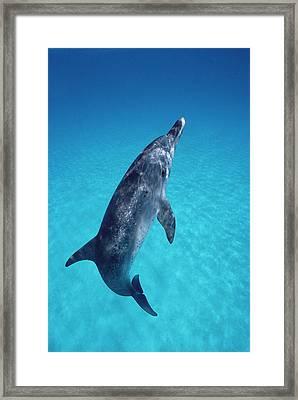 Atlantic Spotted Dolphin Portrait Framed Print by Flip Nicklin