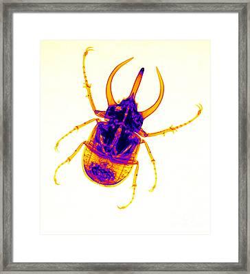 Atlas Beetle X-ray Framed Print by Ted Kinsman