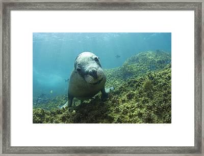 Australian Sea Lion Framed Print