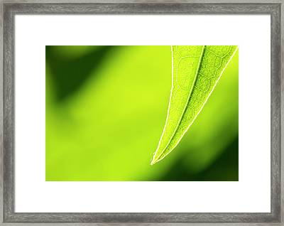 Avocado Leaf Framed Print by Gary Eason