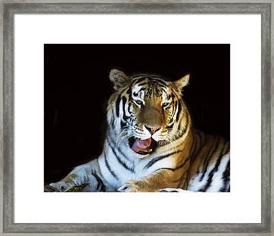 Awaking Tiger Framed Print