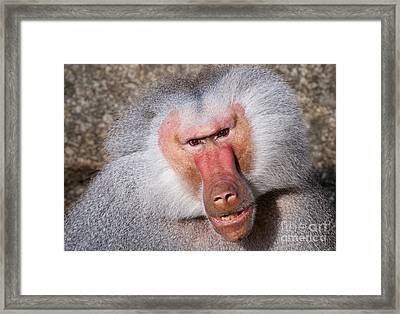 Baboon Framed Print by Andrew  Michael