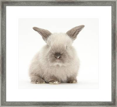 Baby Colorpoint Rabbit Framed Print