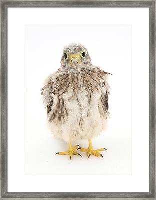 Baby Kestrel Framed Print