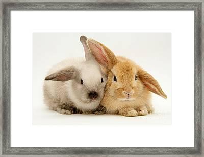 Baby Lop Rabbits Framed Print