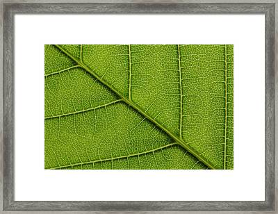 Backlit Close Up Of A Sycamore Maple Framed Print