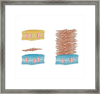Bacterial Cell Wall Comparison, Artwork Framed Print by Peter Gardiner