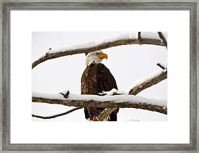 Bald Eagle Perched In Tree Framed Print