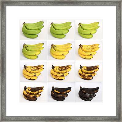 Banana Ripening Sequence Framed Print by Ted Kinsman