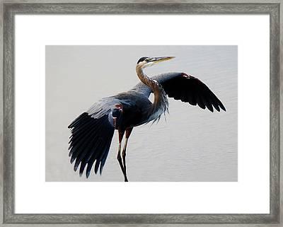 Beautiful Blue Heron Framed Print by Paulette Thomas