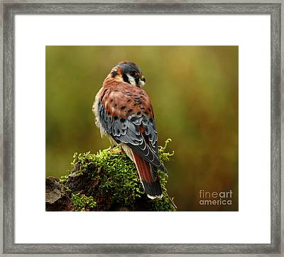 Beauty Of Autumn American Kestrel  Framed Print by Inspired Nature Photography Fine Art Photography
