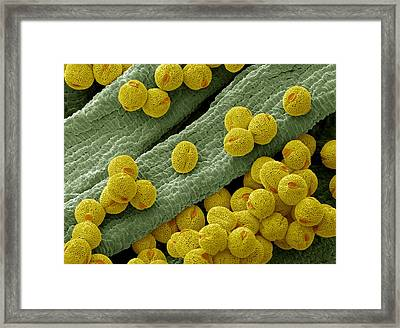 Bellflower Pollen, Sem Framed Print by Steve Gschmeissner