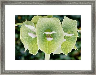 Bells Of Ireland (moluccella Laevis) Framed Print by Archie Young