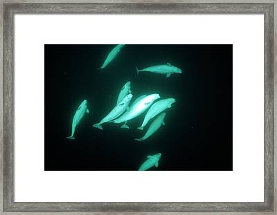 Beluga Whales Framed Print by Doug Allan