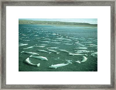 Beluga Whales Moulting Framed Print by Doug Allan
