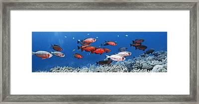 Bigeye Fish Framed Print by Alexander Semenov