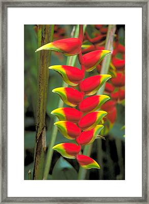 Bird Of Paradise Framed Print by Carl Purcell