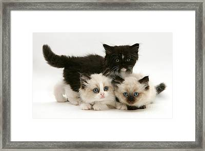 Birman-persian Kittens Framed Print by Jane Burton