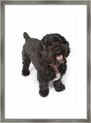 Black Bichon-cocker Spaniel Dog Framed Print by Corey Hochachka