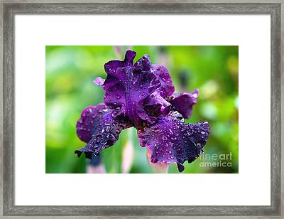Framed Print featuring the photograph Black Iris by Gina Cormier