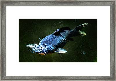 Black Koi Rising Framed Print by Don Mann