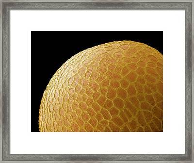 Black Mustard Seed, Sem Framed Print by Steve Gschmeissner