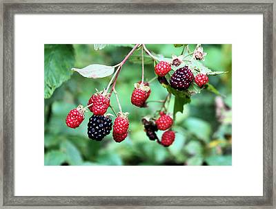 Blackberries Framed Print by Kristin Elmquist
