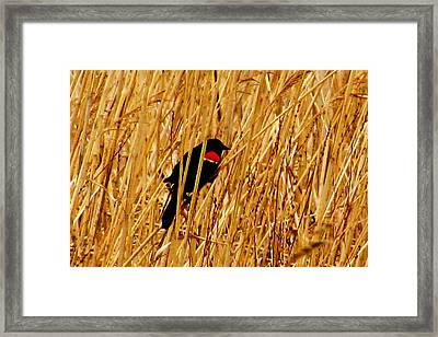 Blackbird In The Reeds Framed Print