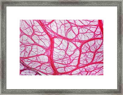 Bladder Tissue, Light Micrograph Framed Print by Dr Keith Wheeler