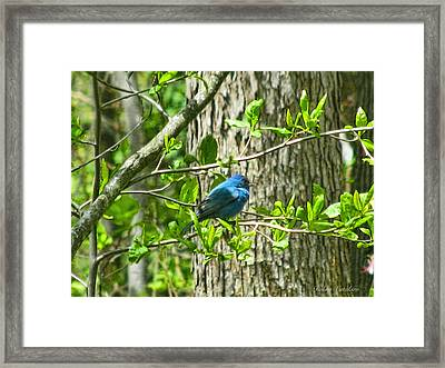 Blue Bird Of Happiness  Framed Print by Debra     Vatalaro