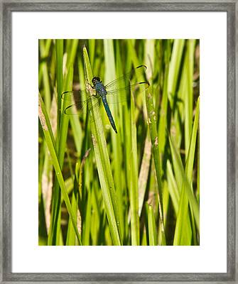 Blue Dragonfly 27 Framed Print by Douglas Barnett