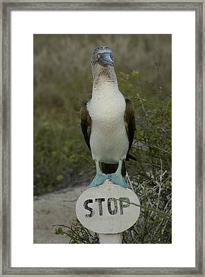 Blue-footed Booby Sula Nebouxii Framed Print by Pete Oxford