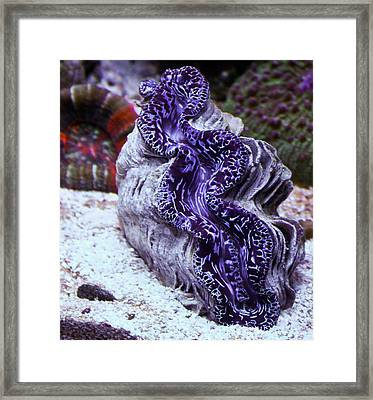 Blue Metallic Maxima Clam Framed Print by Erik Hovind