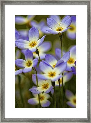 Blue Quaker Ladies Framed Print by Thomas J Martin