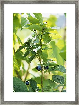 Blueberries (vaccinium Sp.) Framed Print by Veronique Leplat