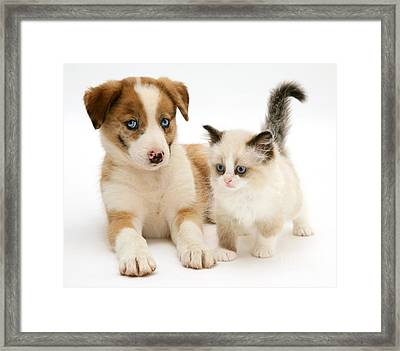 Border Collie And Birman-cross Kitten Framed Print by Jane Burton