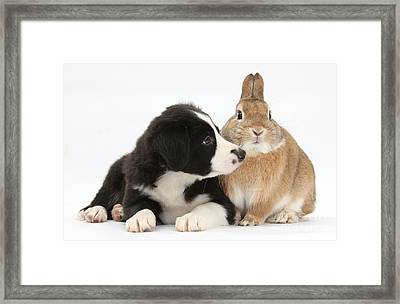 Border Collie Pup And Sandy Framed Print by Mark Taylor