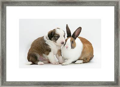 Border Collie Pup With Dutch Rabbit Framed Print by Jane Burton