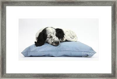Border Collie X Cocker Sleeping Puppy Framed Print by Mark Taylor
