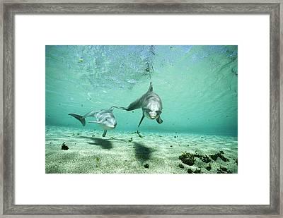 Bottlenose Dolphin Pair Hawaii Framed Print by Flip Nicklin