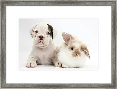 Boxer Puppy And Young Fluffy Rabbit Framed Print by Mark Taylor