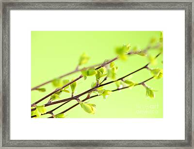 Branches With Green Spring Leaves Framed Print by Elena Elisseeva