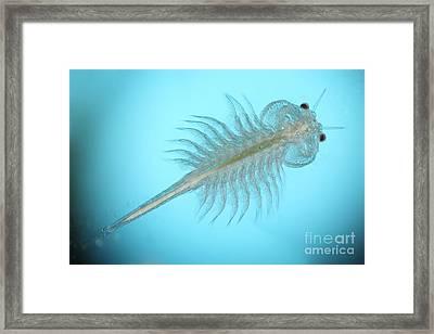 Brine Shrimp Framed Print by Ted Kinsman