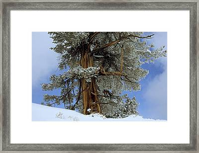 Bristlecone Pine Tree Blanketed In Snow Framed Print by Tim Laman