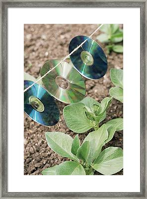 Broad Beans (vicia Faba 'red Epicure') Framed Print by Maxine Adcock