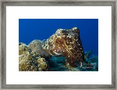 Broadclub Cuttlefish, Papua New Guinea Framed Print