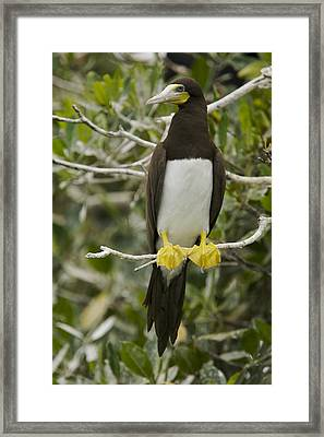 Brown Booby, Sula Leucogaster Framed Print
