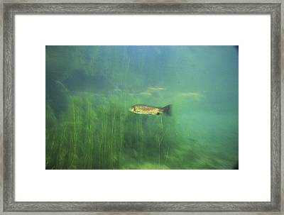 Brown Trout Framed Print by Alexis Rosenfeld